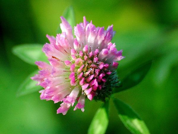 Clover (Trifolium) http://www.sagebud.com/clover-trifolium/