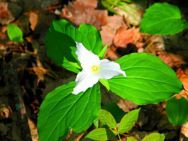 Trillium (Trillium) http://www.sagebud.com/trillium-trillium/