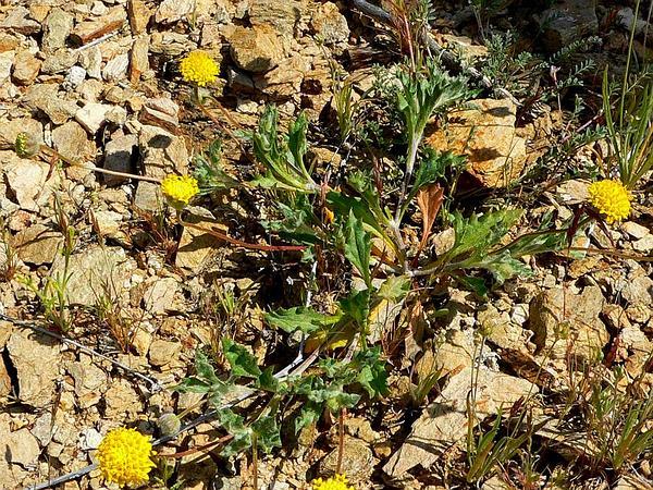Yellowdome (Trichoptilium Incisum) http://www.sagebud.com/yellowdome-trichoptilium-incisum