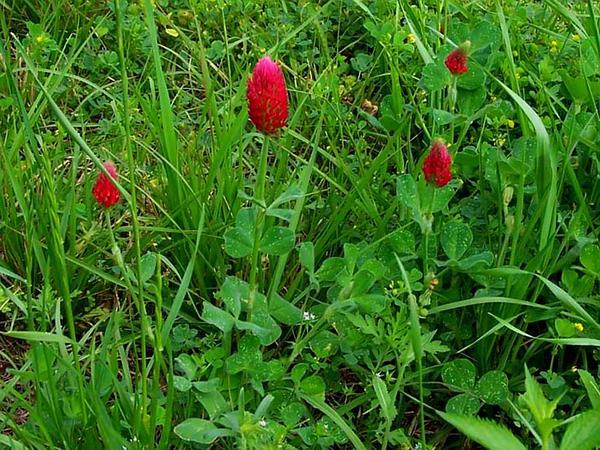 Crimson Clover (Trifolium Incarnatum) http://www.sagebud.com/crimson-clover-trifolium-incarnatum/