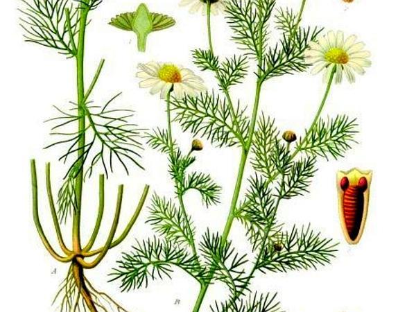 Mayweed (Tripleurospermum) http://www.sagebud.com/mayweed-tripleurospermum/