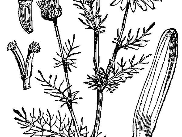 Mayweed (Tripleurospermum) http://www.sagebud.com/mayweed-tripleurospermum