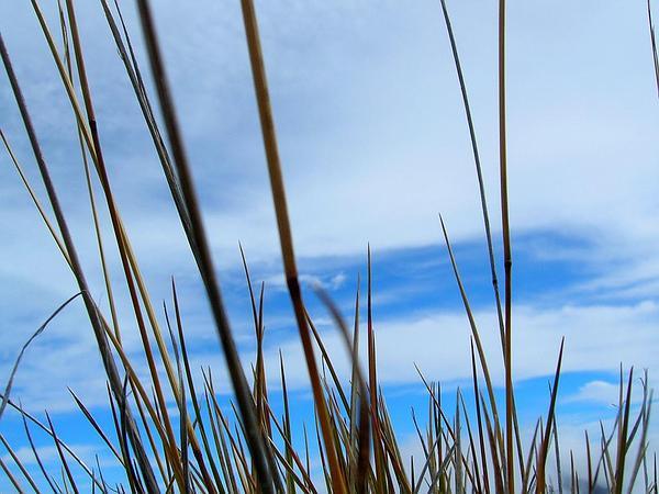 Oatgrass (Trisetum) http://www.sagebud.com/oatgrass-trisetum