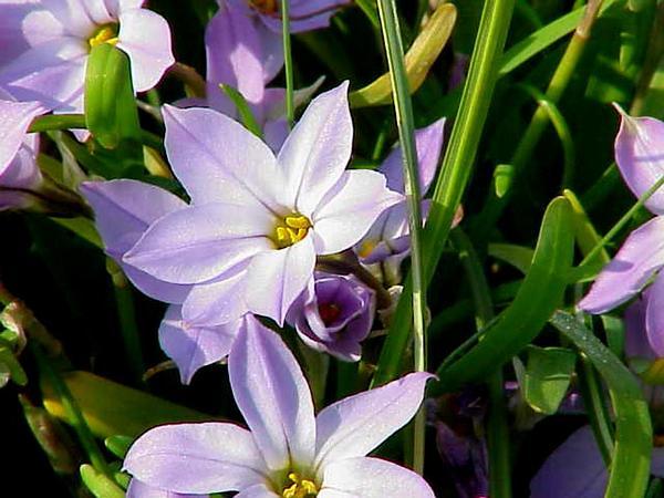 Springstar (Tristagma) http://www.sagebud.com/springstar-tristagma