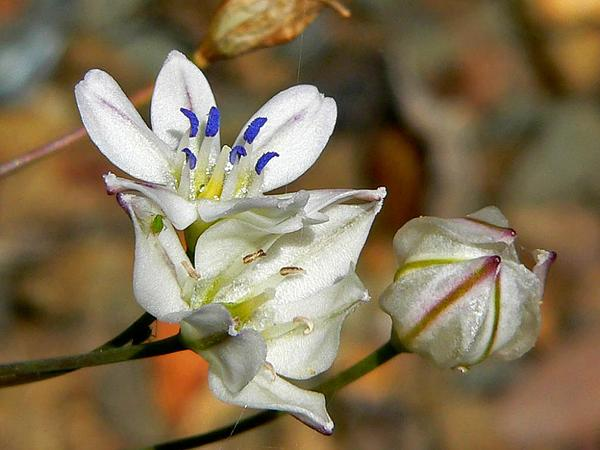 Triteleia (Triteleia) http://www.sagebud.com/triteleia-triteleia