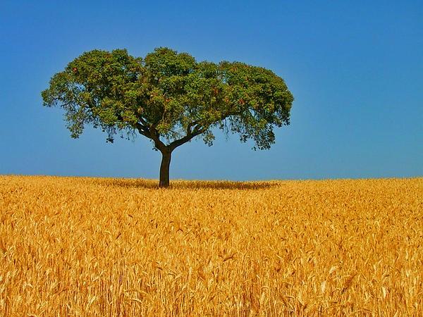 Wheat (Triticum) http://www.sagebud.com/wheat-triticum