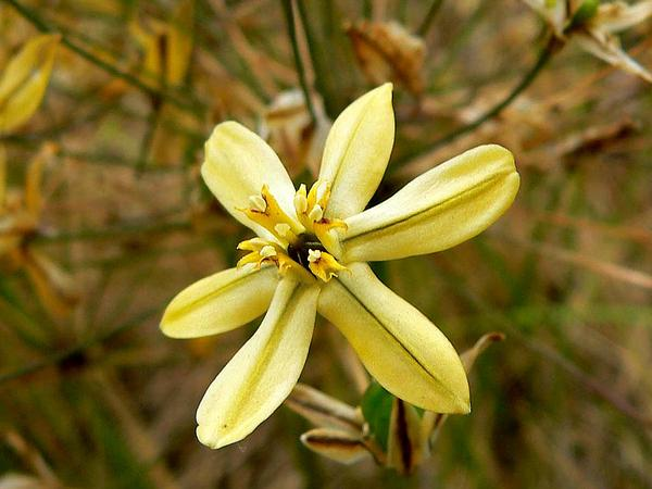 Prettyface (Triteleia Ixioides) http://www.sagebud.com/prettyface-triteleia-ixioides