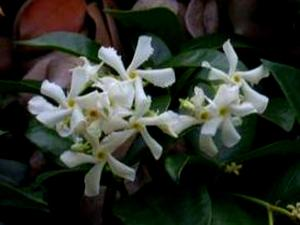 TRJA/Confederate_Jasmine,_Star_Jasmine_(Trachelospermum_jasminoides)_300.jpg