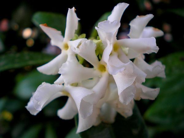 Confederate Jasmine (Trachelospermum Jasminoides) http://www.sagebud.com/confederate-jasmine-trachelospermum-jasminoides/