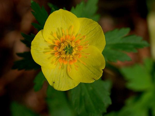 American Globeflower (Trollius Laxus) http://www.sagebud.com/american-globeflower-trollius-laxus/