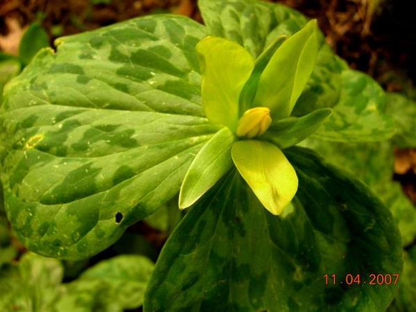 Yellow Wakerobin (Trillium Luteum) http://www.sagebud.com/yellow-wakerobin-trillium-luteum
