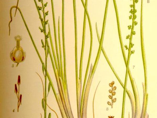 Seaside Arrowgrass (Triglochin Maritima) http://www.sagebud.com/seaside-arrowgrass-triglochin-maritima
