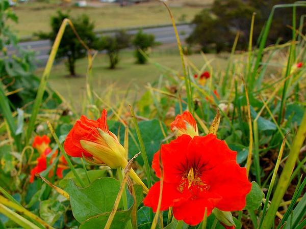 Nasturtium (Tropaeolum Majus) http://www.sagebud.com/nasturtium-tropaeolum-majus/
