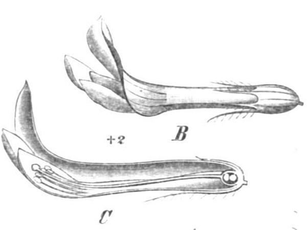 Zigzag Clover (Trifolium Medium) http://www.sagebud.com/zigzag-clover-trifolium-medium