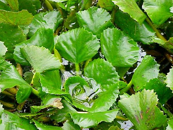 Water Chestnut (Trapa Natans) http://www.sagebud.com/water-chestnut-trapa-natans/