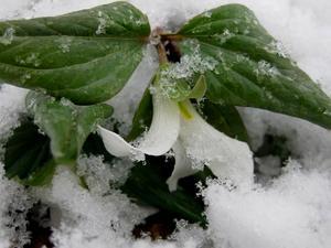 Snow Trillium