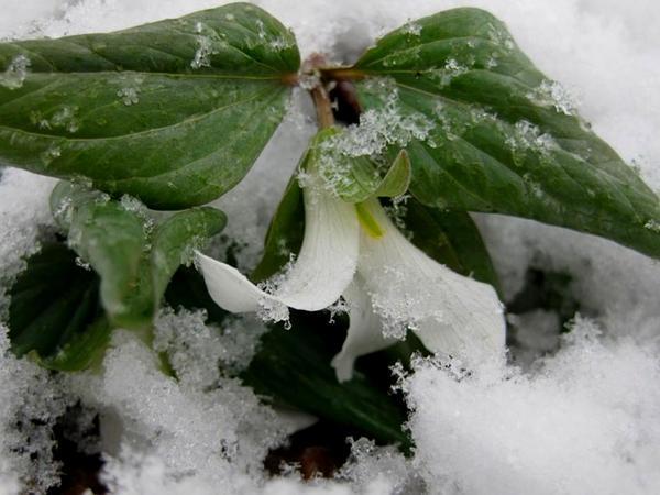 Snow Trillium (Trillium Nivale) http://www.sagebud.com/snow-trillium-trillium-nivale