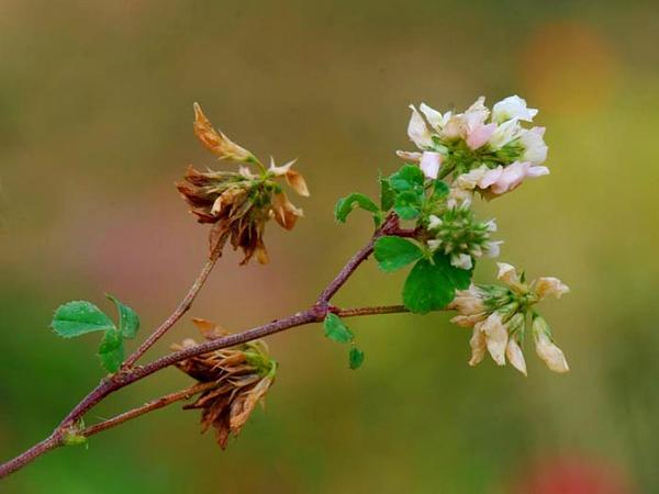 Small White Clover (Trifolium Nigrescens) http://www.sagebud.com/small-white-clover-trifolium-nigrescens