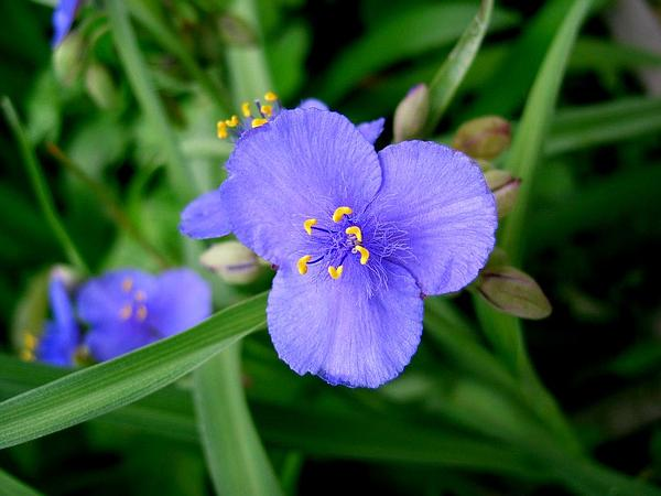 Bluejacket (Tradescantia Ohiensis) http://www.sagebud.com/bluejacket-tradescantia-ohiensis