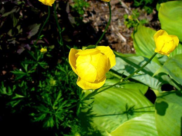 Globeflower (Trollius) http://www.sagebud.com/globeflower-trollius