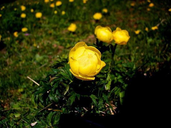 Globeflower (Trollius) http://www.sagebud.com/globeflower-trollius/