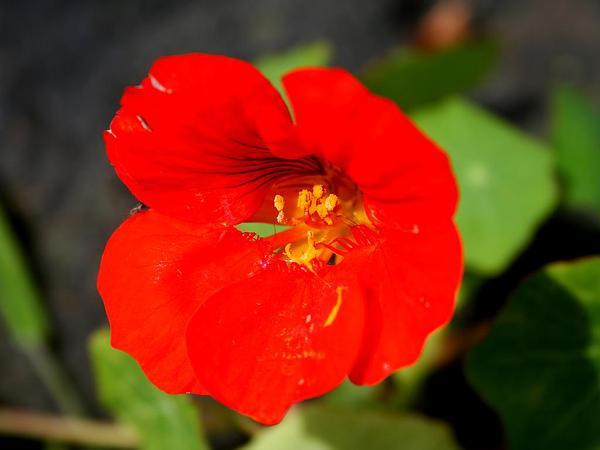 Nasturtium (Tropaeolum) http://www.sagebud.com/nasturtium-tropaeolum/