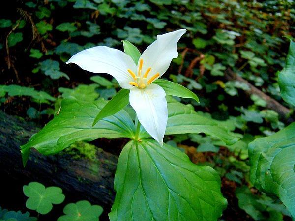 Pacific Trillium (Trillium Ovatum) http://www.sagebud.com/pacific-trillium-trillium-ovatum