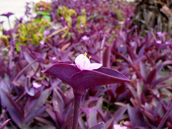 Purple Queen (Tradescantia Pallida) http://www.sagebud.com/purple-queen-tradescantia-pallida