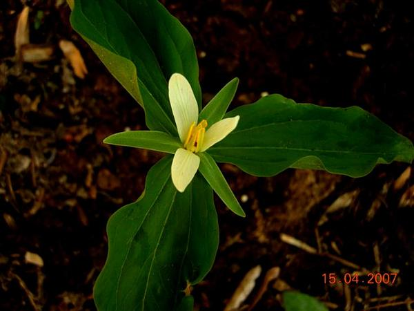 Smallflower Wakerobin (Trillium Parviflorum) http://www.sagebud.com/smallflower-wakerobin-trillium-parviflorum