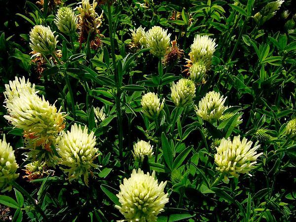 Hungarian Clover (Trifolium Pannonicum) http://www.sagebud.com/hungarian-clover-trifolium-pannonicum