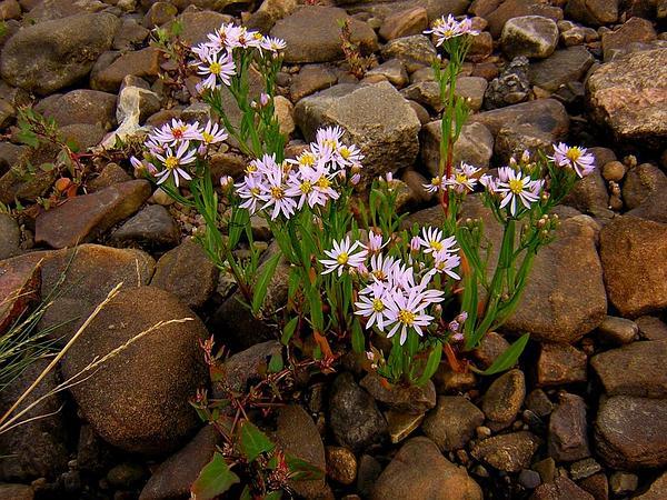 Sea Aster (Tripolium Pannonicum) http://www.sagebud.com/sea-aster-tripolium-pannonicum/
