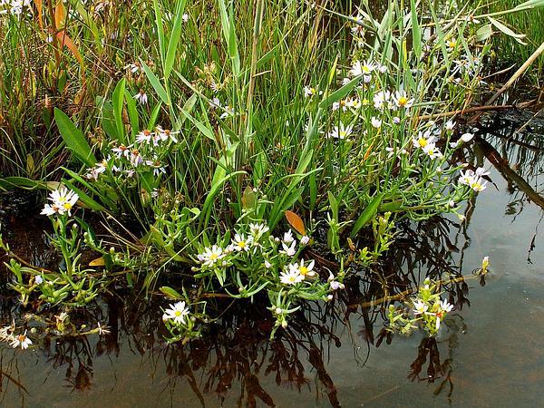 Sea Aster (Tripolium Pannonicum) http://www.sagebud.com/sea-aster-tripolium-pannonicum