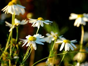 Scentless False Mayweed