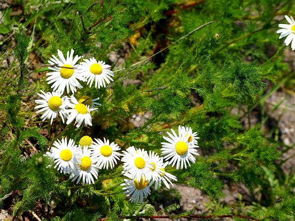 Scentless False Mayweed (Tripleurospermum Perforatum) http://www.sagebud.com/scentless-false-mayweed-tripleurospermum-perforatum/