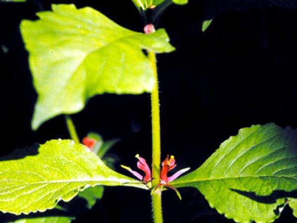 Feverwort (Triosteum Perfoliatum) http://www.sagebud.com/feverwort-triosteum-perfoliatum