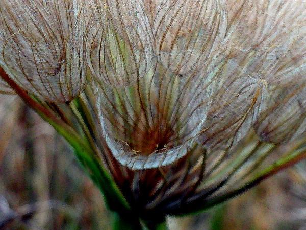 Salsify (Tragopogon Porrifolius) http://www.sagebud.com/salsify-tragopogon-porrifolius/