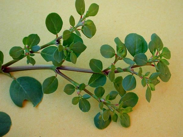 Desert Horsepurslane (Trianthema Portulacastrum) http://www.sagebud.com/desert-horsepurslane-trianthema-portulacastrum