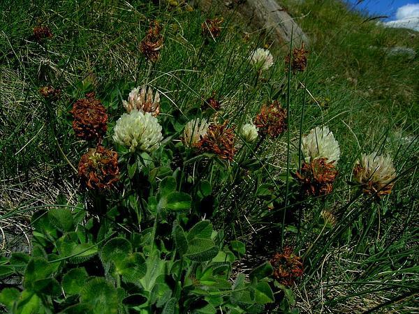 Red Clover (Trifolium Pratense) http://www.sagebud.com/red-clover-trifolium-pratense