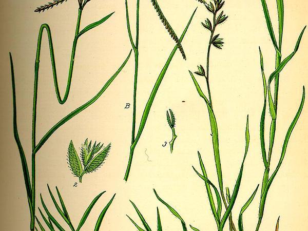 Stalked Bur Grass (Tragus Racemosus) http://www.sagebud.com/stalked-bur-grass-tragus-racemosus/