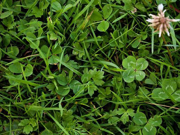 White Clover (Trifolium Repens) http://www.sagebud.com/white-clover-trifolium-repens/