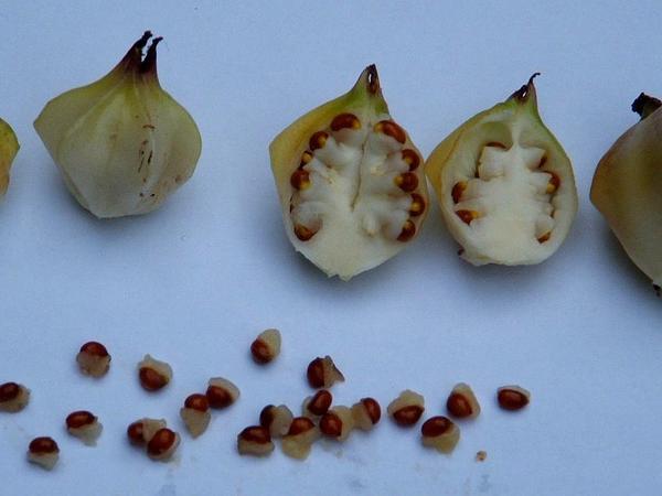 Bloody Butcher (Trillium Recurvatum) http://www.sagebud.com/bloody-butcher-trillium-recurvatum