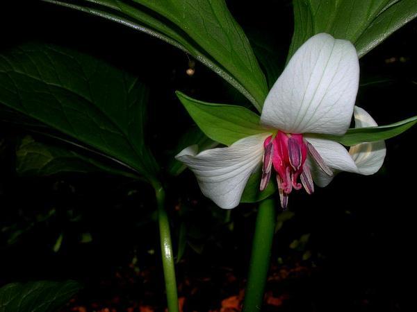 Illscented Wakerobin (Trillium Rugelii) http://www.sagebud.com/illscented-wakerobin-trillium-rugelii
