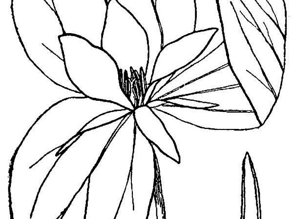 Toadshade (Trillium Sessile) http://www.sagebud.com/toadshade-trillium-sessile