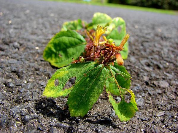 Sacramento Burbark (Triumfetta Semitriloba) http://www.sagebud.com/sacramento-burbark-triumfetta-semitriloba