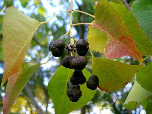 Chinese Tallow (Triadica Sebifera) http://www.sagebud.com/chinese-tallow-triadica-sebifera/