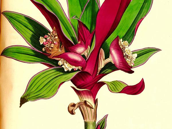 Boatlily (Tradescantia Spathacea) http://www.sagebud.com/boatlily-tradescantia-spathacea/