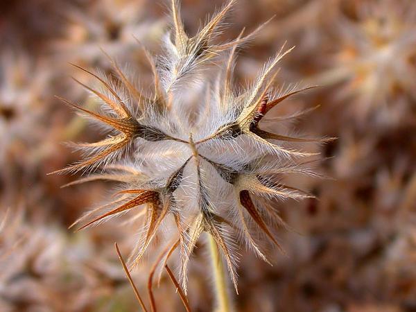 Star Clover (Trifolium Stellatum) http://www.sagebud.com/star-clover-trifolium-stellatum/