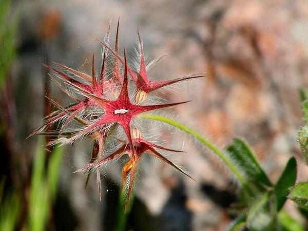 Star Clover (Trifolium Stellatum) http://www.sagebud.com/star-clover-trifolium-stellatum