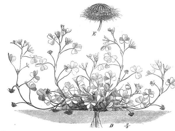 Subterranean Clover (Trifolium Subterraneum) http://www.sagebud.com/subterranean-clover-trifolium-subterraneum/