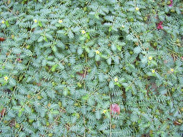 Puncturevine (Tribulus Terrestris) http://www.sagebud.com/puncturevine-tribulus-terrestris